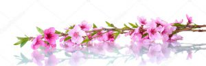 depositphotos_11532205-stock-photo-beautiful-pink-peach-blossom-isolated
